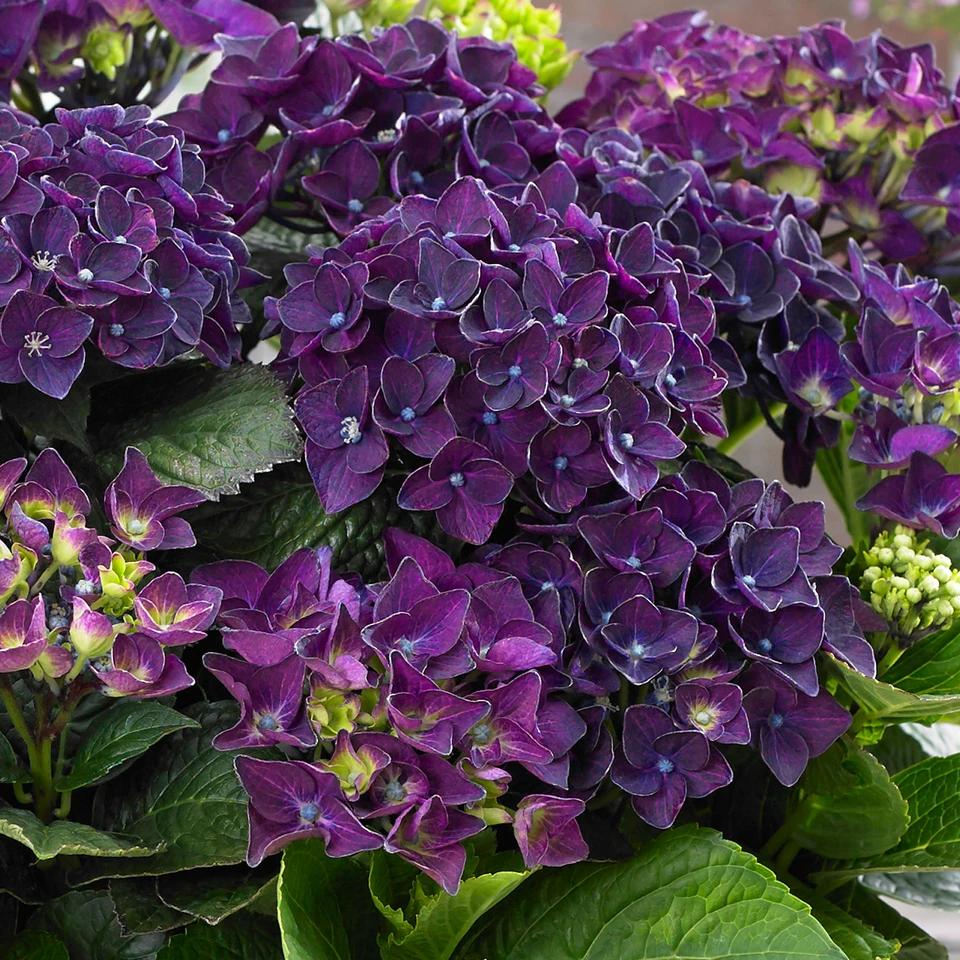 Hortensie Hydrangea Deep Purple Dance Lila In 2020 Bluhende Pflanzen Pflanzen Deep Purple