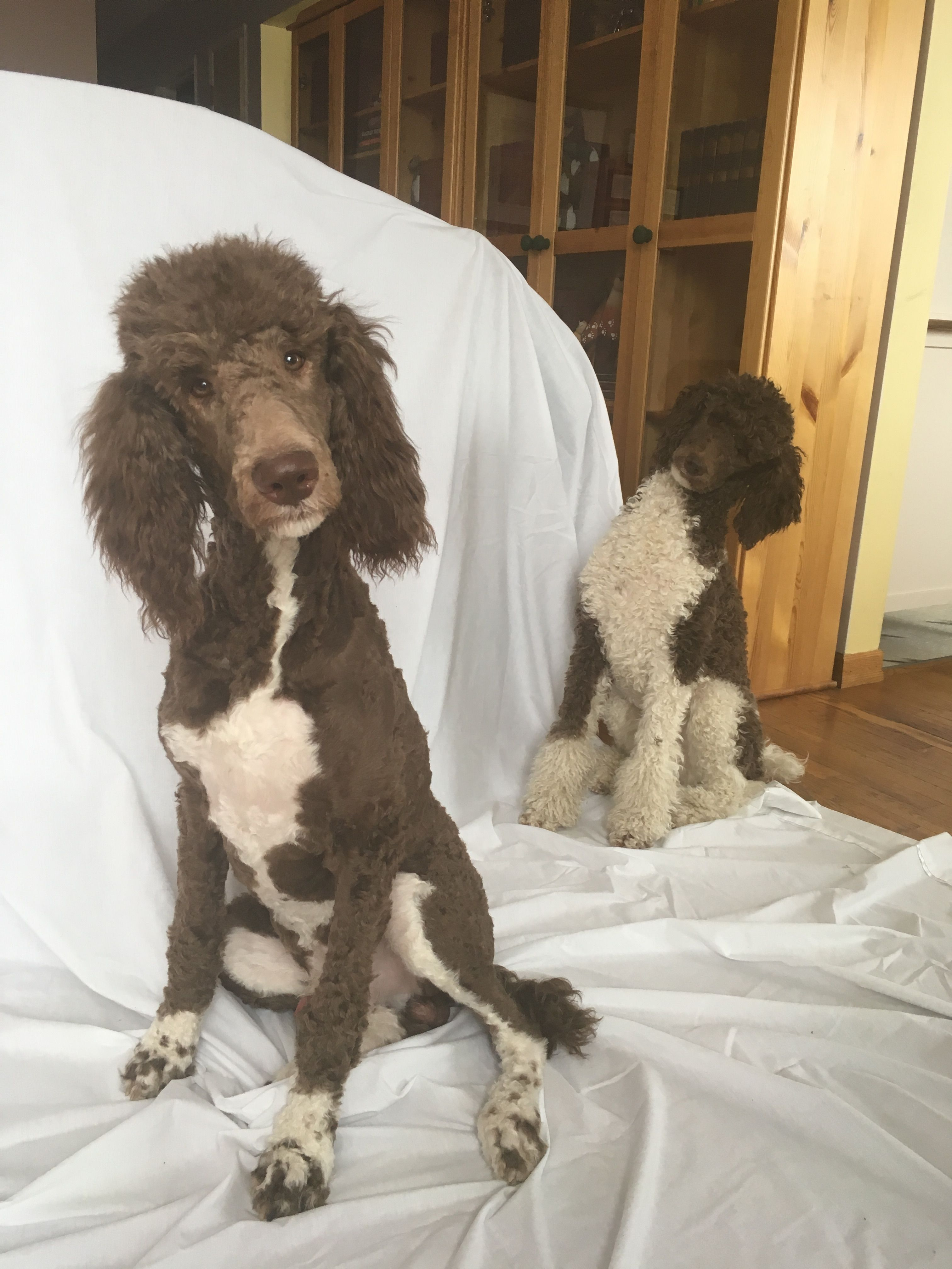 This Is Our Brown Parti And Tuxedo Standard Poodles I Can T Wait