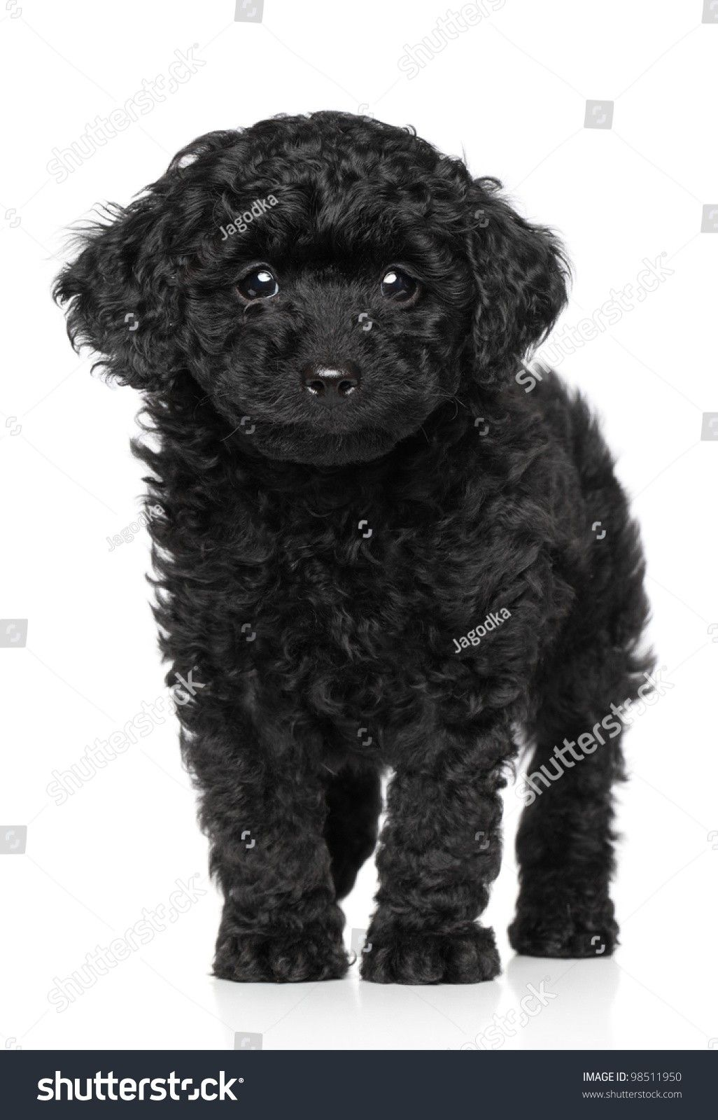 Black Toy Poodle Puppy Price References