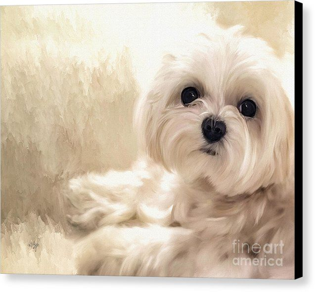 Hoping For A Cookie Canvas Print It S A Dogs Life Maltese Dogs