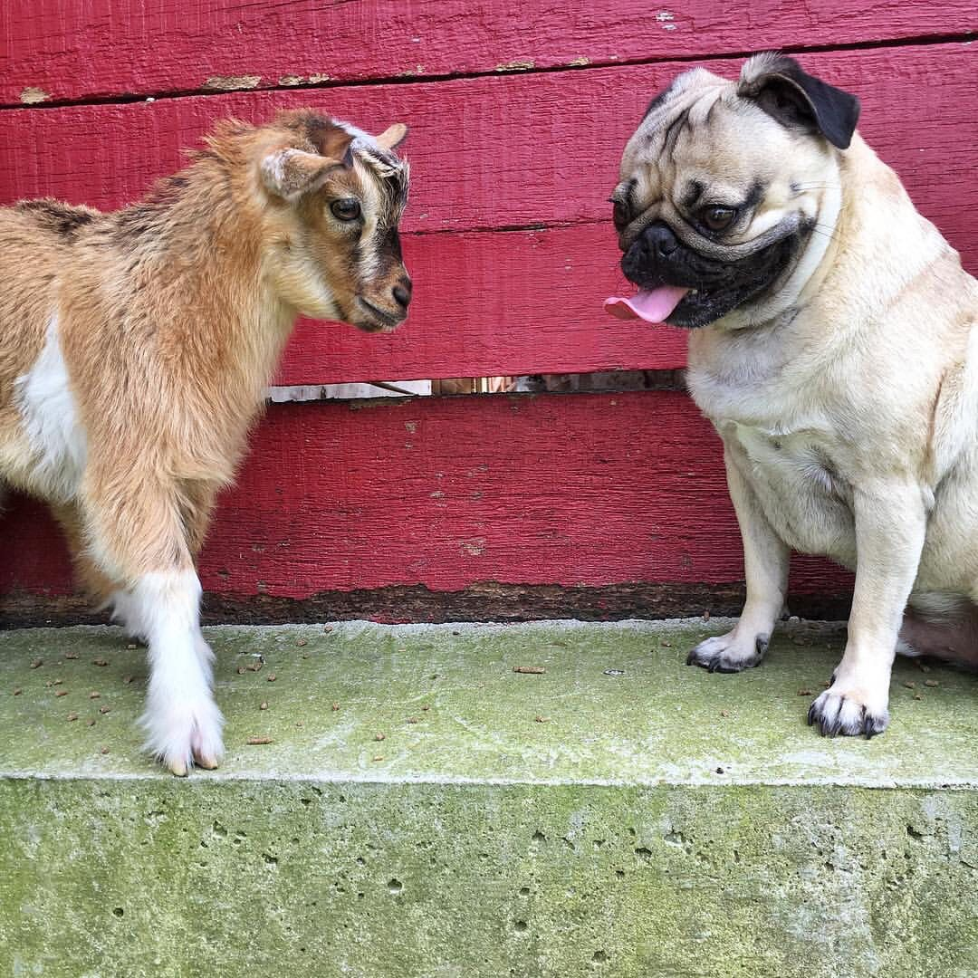 Doug The Pug With A Baby Goat P S Click On The Image To