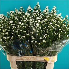 Aster Pretty Wendy Double 80cm Wholesale Flowers Florist Supplies Uk September Flowers Wholesale Flowers April Flowers