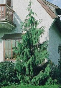 weeping alaskan cedar evergreen