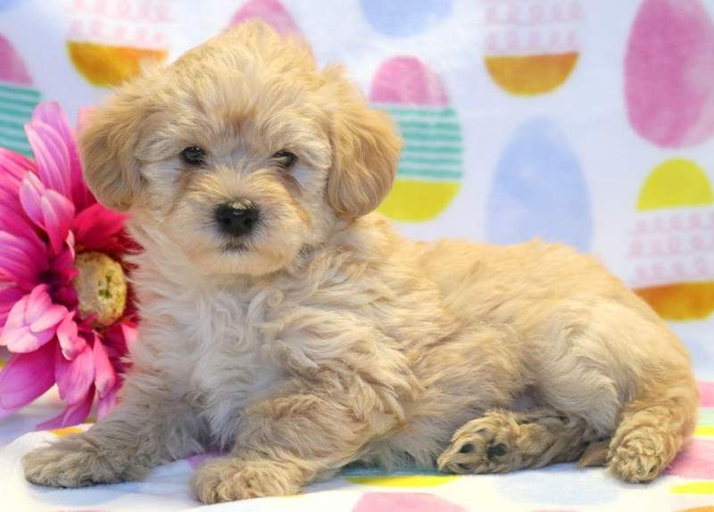 Miniature Labradoodle Puppy For Sale In Mount Joy Pa Adn 68489 On Puppyfinder Co Labradoodle Puppies For Sale Labradoodle Miniature Puppies Labradoodle Puppy