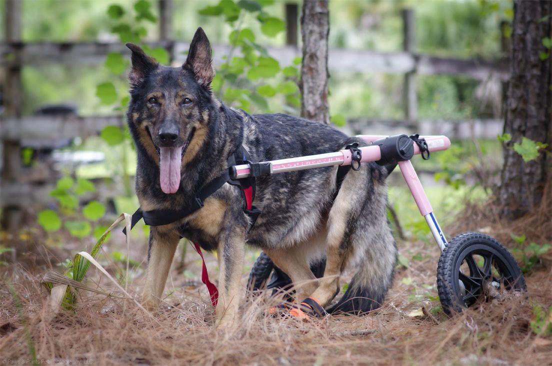 German Shepherd dog with wheelchair. Pet photography