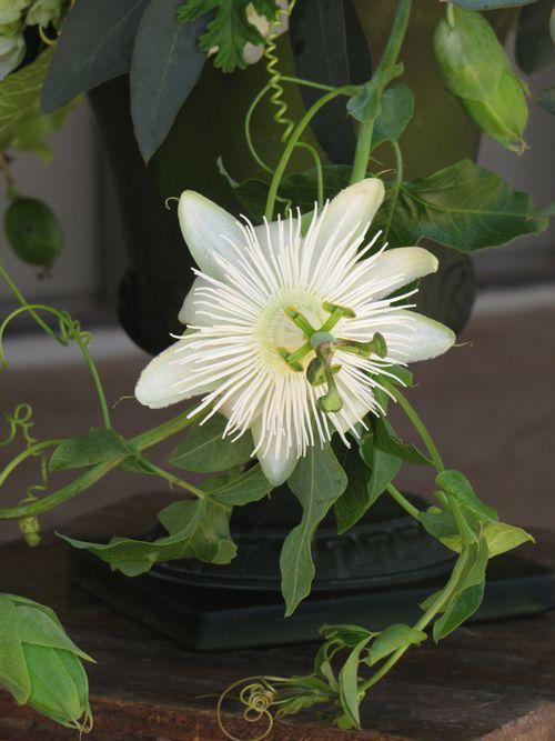 Image Result For White Passion Flower Vine Flowering Vines Passion Flower Beautiful Flowers