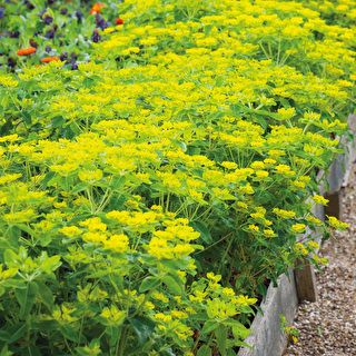 Euphorbia oblongata (med billeder)   Udendørs
