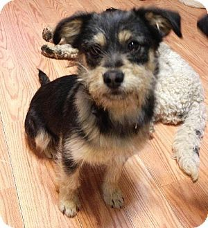 Little Rock Ar Shih Tzu Dachshund Mix Meet Kiki A Dog For