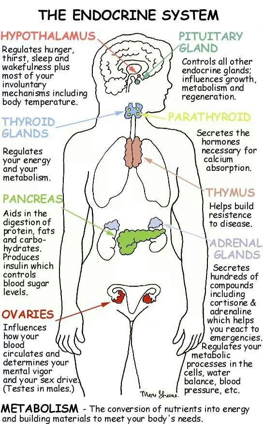 This shows all the glands and their function in the endocrine system ...