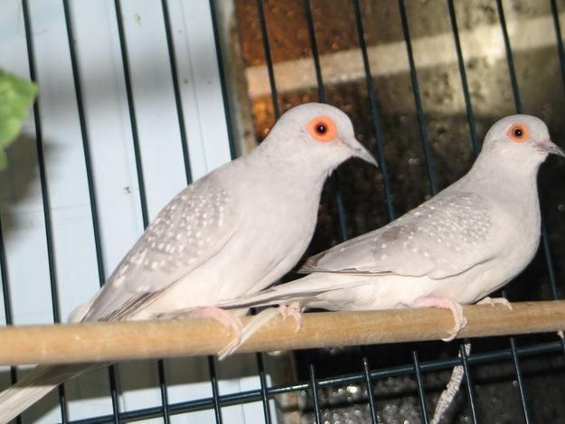 White Tail Dove For Sale In Karachi Pets For Sale Doves Beautiful Birds