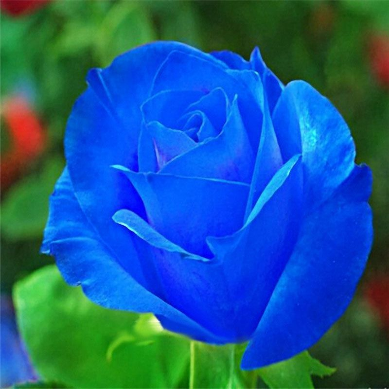 Egrow 100 pcs midnight supreme rose seeds potted flower