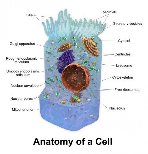 Mitochondria and disease dna outside the nucleus structure of a cell not all human cells have cilia or microvilli ccuart Gallery