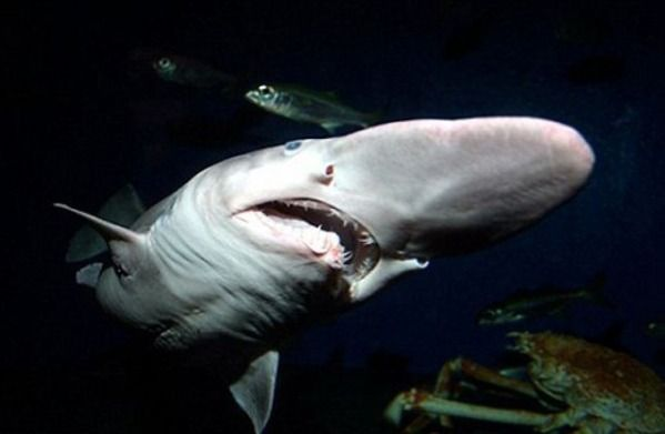 the goblin shark oh evolution what have you done here it seems as