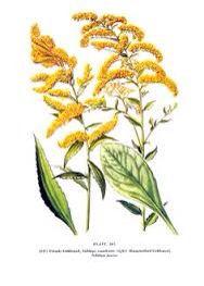 Goldenrod Tattoo On My Forearm Goldenrod Flower Wildflower Drawing Vintage Botanical Prints