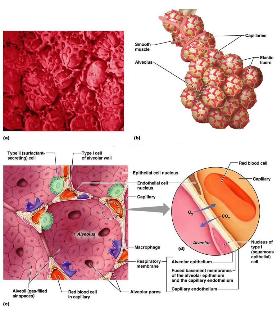 The Respiratory System | Manual PA114 | Pinterest | Respiratory ...