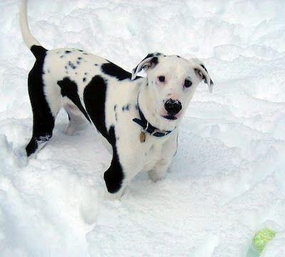 Labrador Dalmation Mix Dalmatian Mix Labrador Mixed Breed Dogs