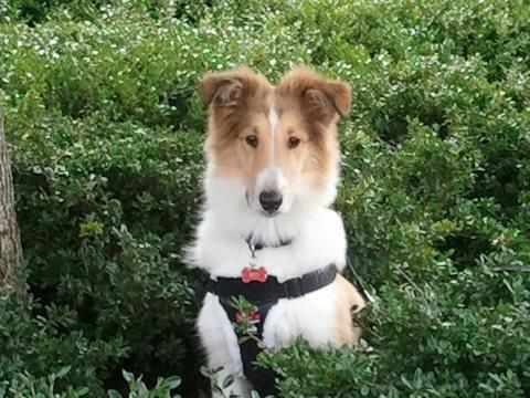 Rio Our 4 Month Old Collie Collie Dog Rough Collie Collie