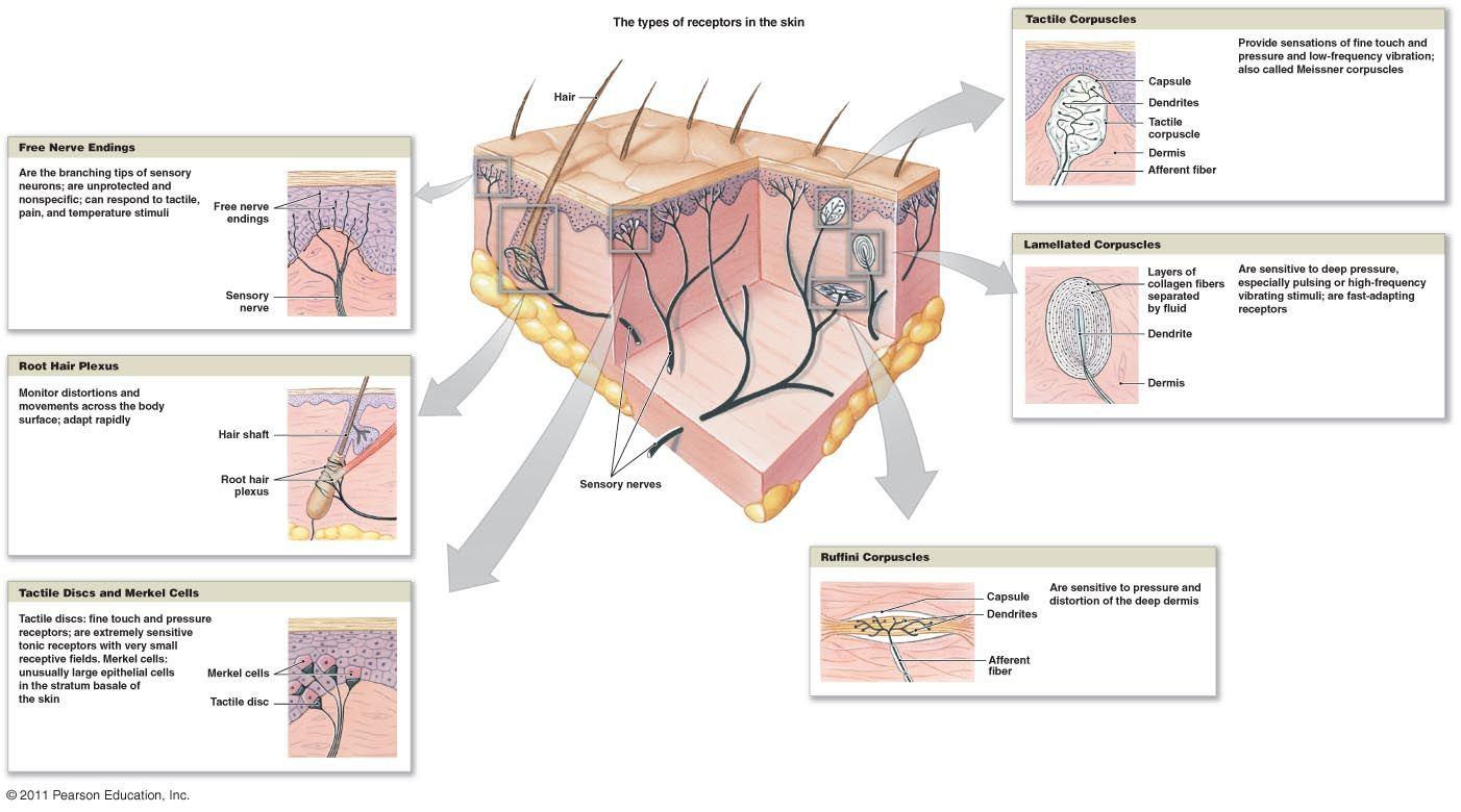 integreceptors.jpg (1402×780) | Nervous System | Pinterest | Nervous ...