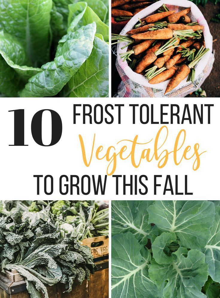 10 Frost Tolerant Vegetables To Grow In Fall is part of Organic vegetable garden, Growing vegetables, Fall garden vegetables, Organic gardening tips, Home vegetable garden, Gardening for beginners - Did you know that there are some vegetables that actually taste better if they are grown through a frost  Cold weather induces a physiologic response to help the plant become resistant to freezing temps  By increasing sugar within their cells, the plants are protected from freezing  This is great news for gardeners because those increased sugars     Read More about 10 Frost Tolerant Vegetables To Grow In Fall