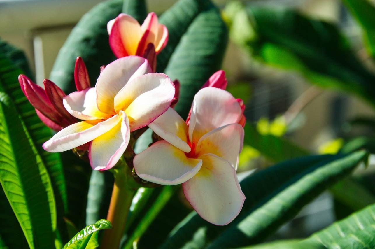 Solving plumeria problems when growing indoors plumeria