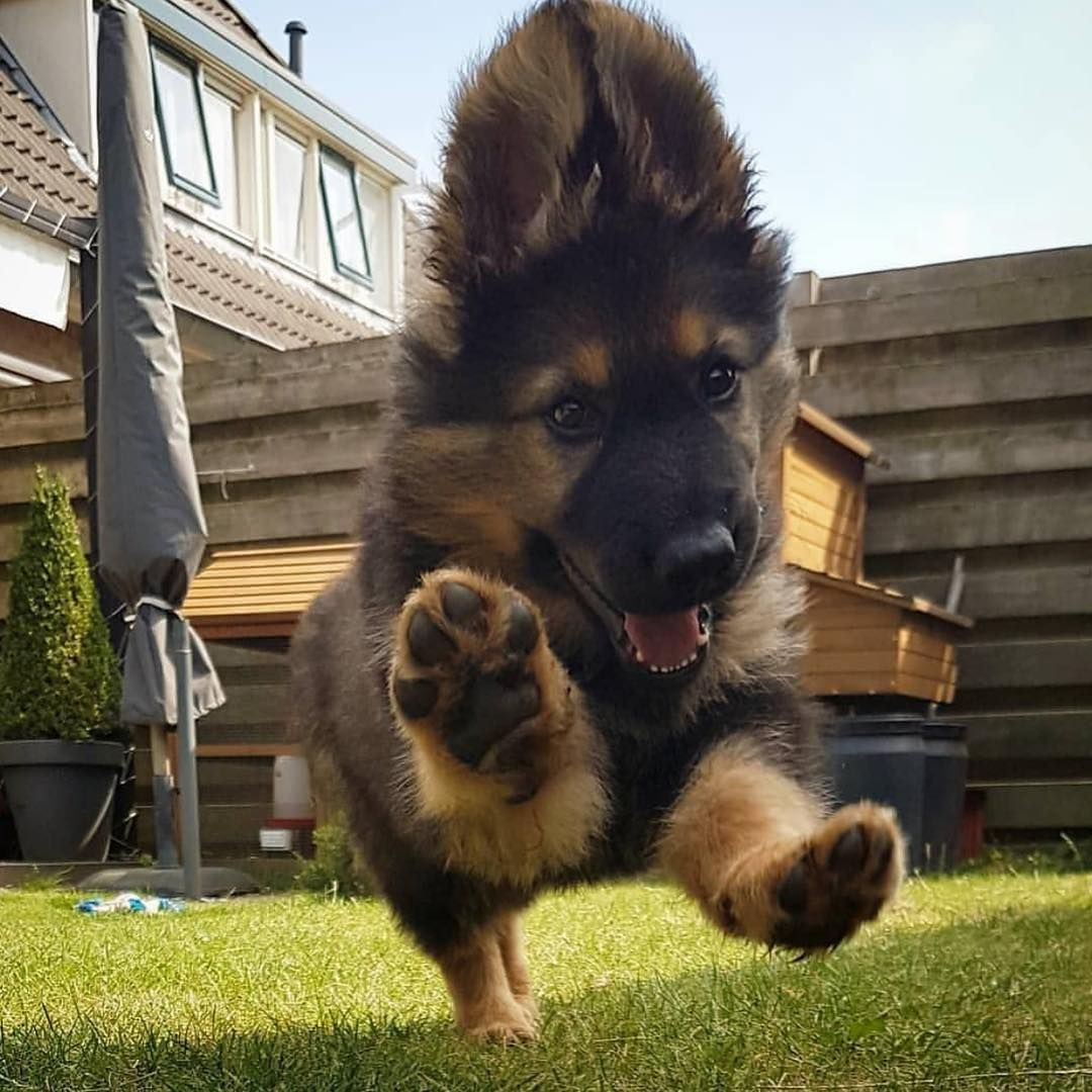 Cute German Shepard Puppy Cute Animal Pictures Dog Friends Cute Dogs And Puppies