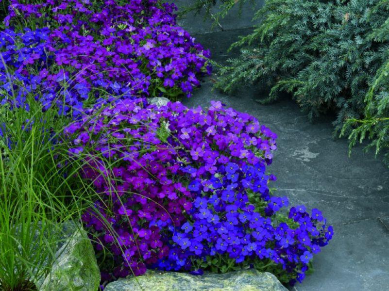 Zagwin Kwiaty Wiosenne Na Skalniak Ogrod Byliny Rock Plants Outdoor Gardens Plants