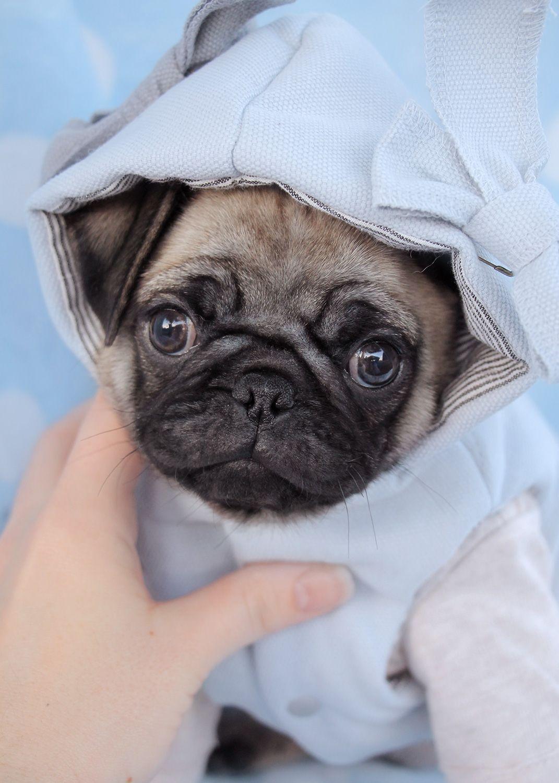 Pug Puppies By Teacupspuppies Com Kaeledyr Hunde Sma Hunde