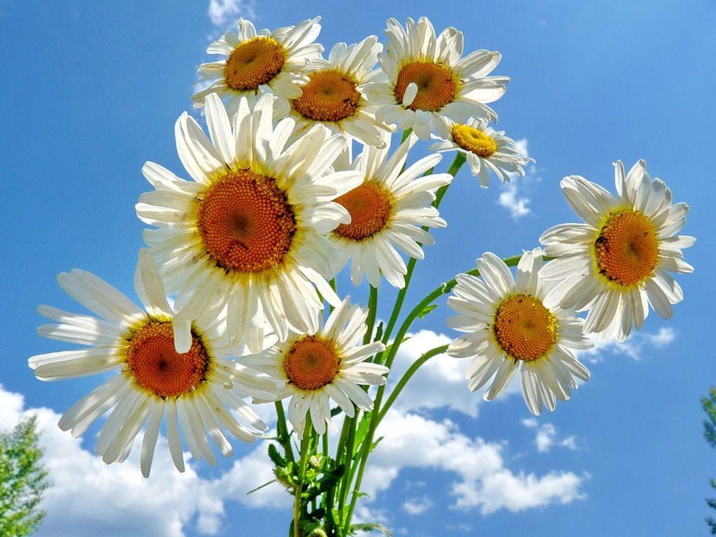 лаборатории фото открытки цветы ромашки попасть сюда, вам
