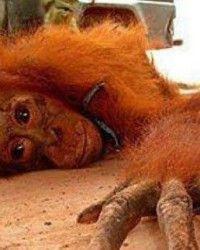 PETITION: Seid mit uns gegen den sexuellen Missbrauch von Orang-Utans …