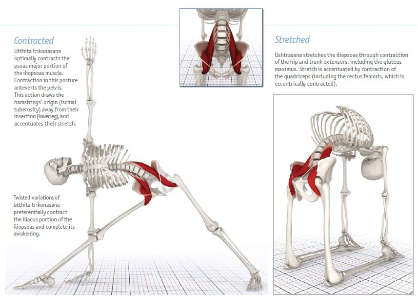 Iliopsoas - Extract from the book The Key Muscles of Hatha Yoga, Ray ...