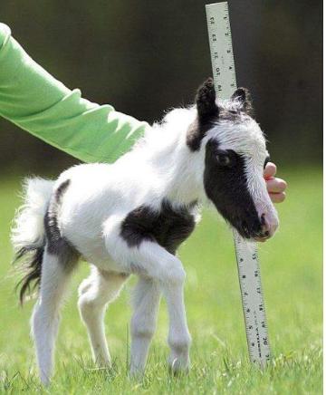 Le Plus Petit Cheval Du Monde : petit, cheval, monde, Petit, Cheval, Monde, Côté, D'une, Règle, Horses,, Animals,, Animals