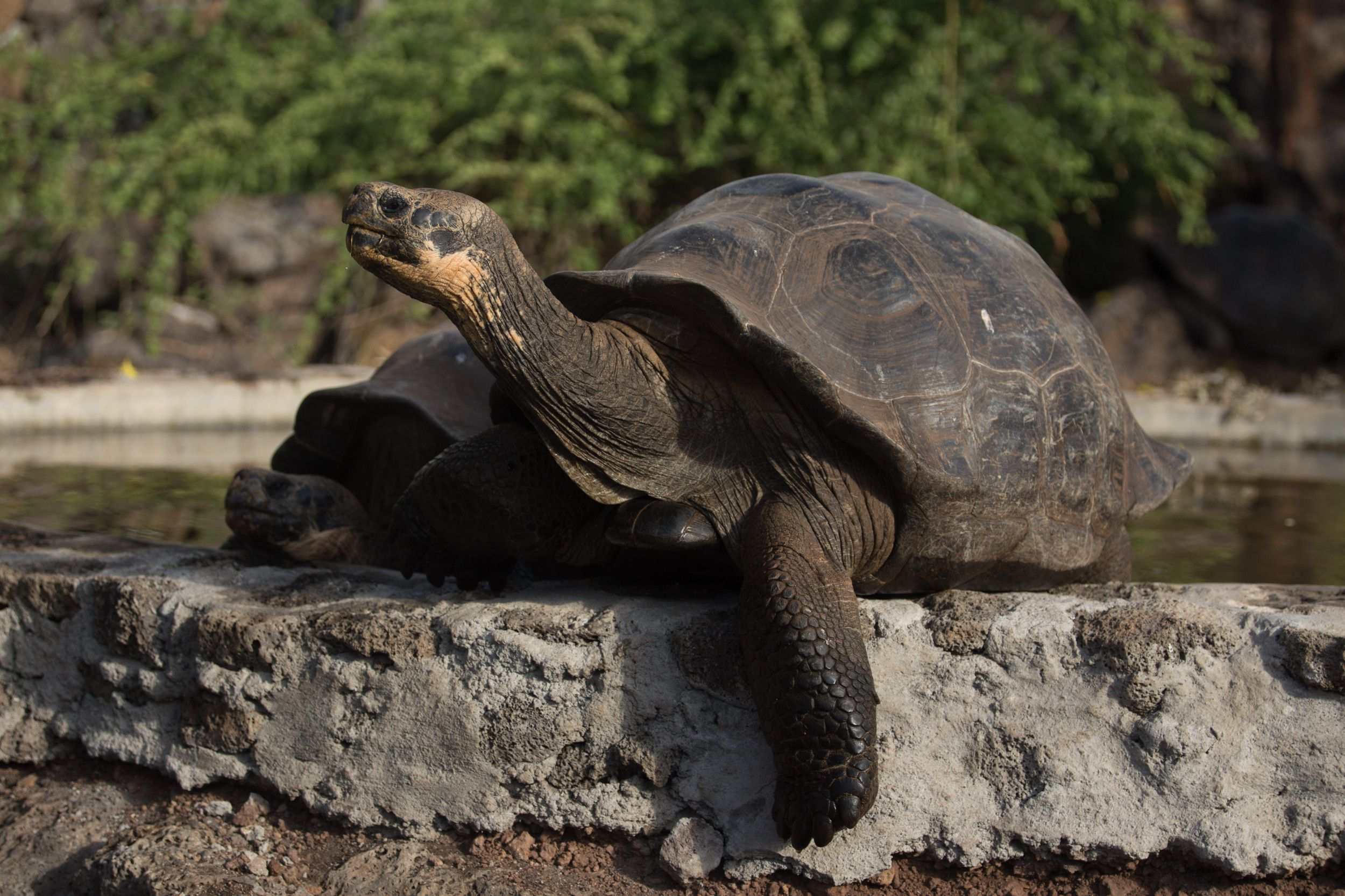 Diego, a 100yearold Galapagos giant tortoise who saved