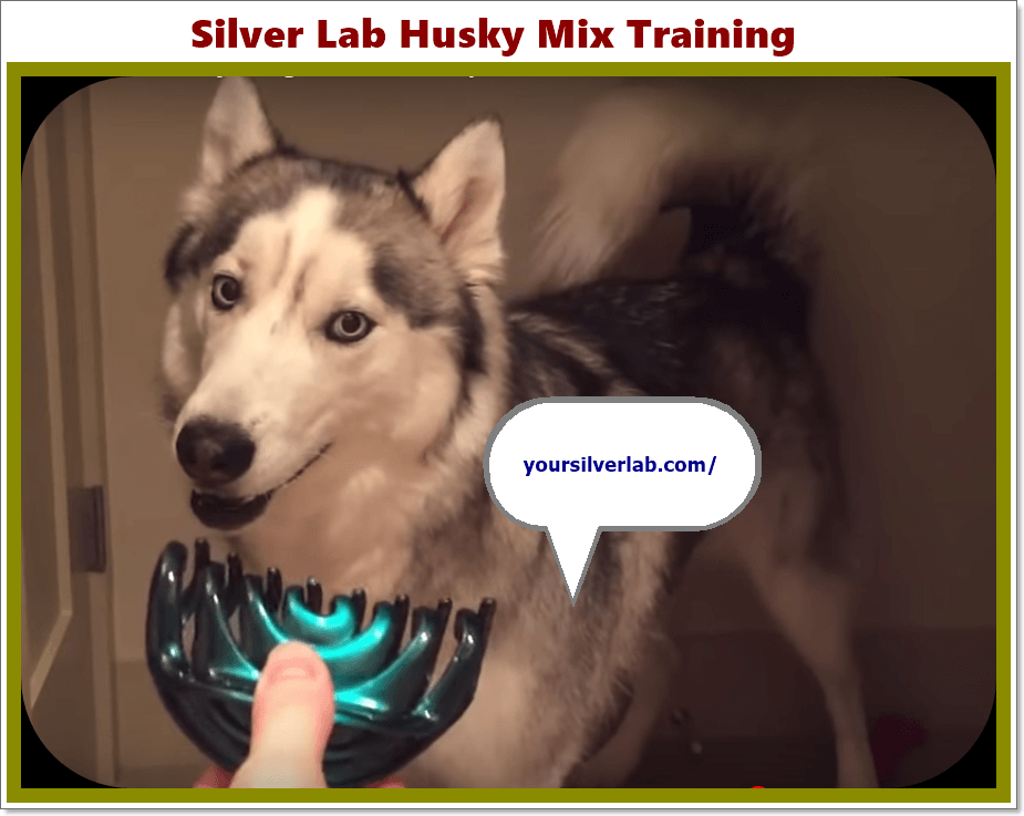 Silver Lab Husky Mix Golden Retriever Puppies Trend In 2020 Silverlab Silverlabradorpuppy Silverlabel Silverla Husky Mix Golden Retriever Husky Mix Husky
