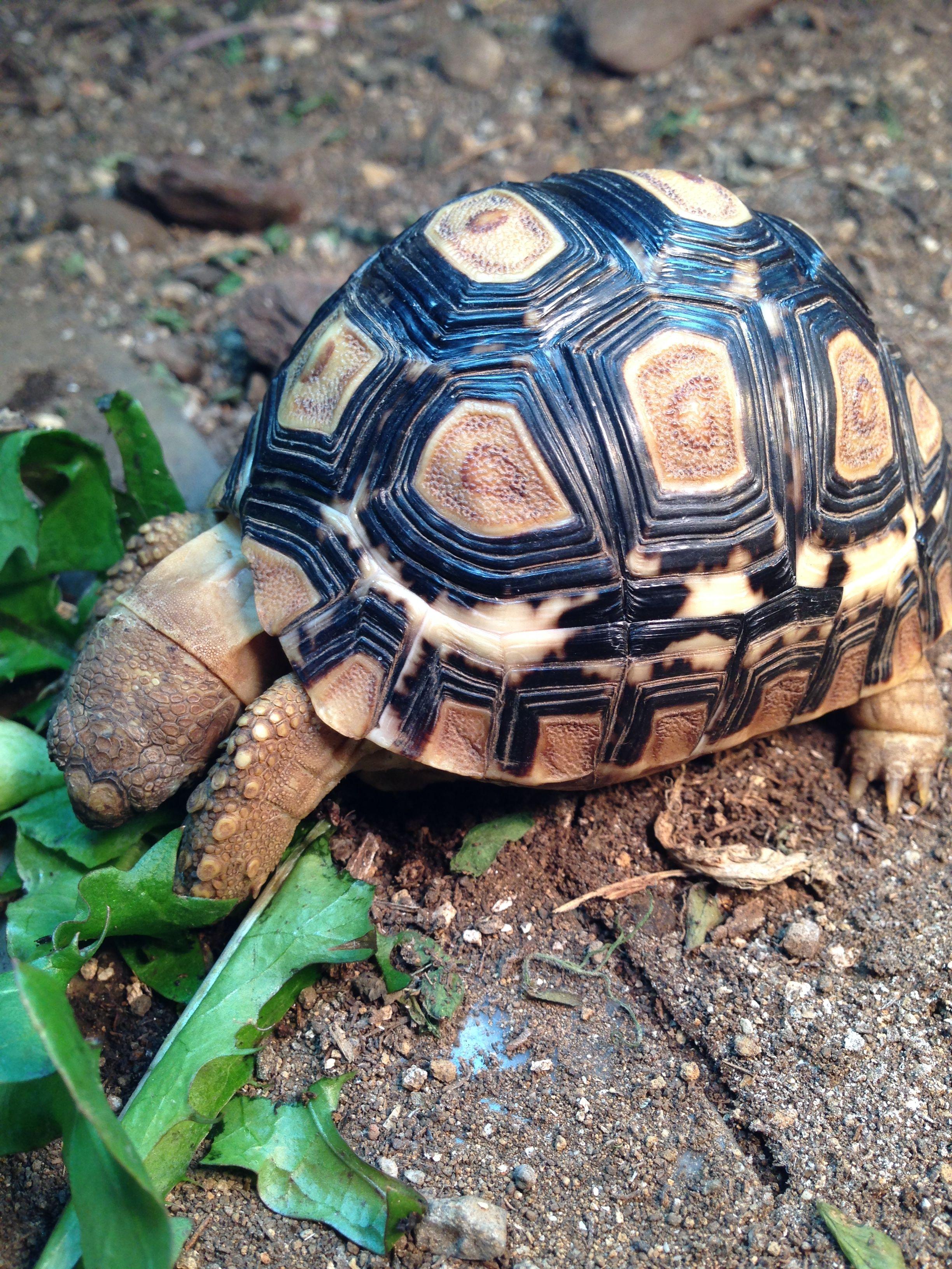 Pin by psychobrick on giant tortoise uromastyx pinterest turtle