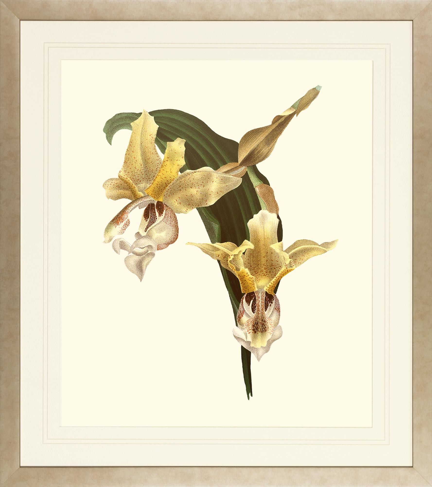 Orchids on Light Cream by Lucien Linden Framed Painting Print