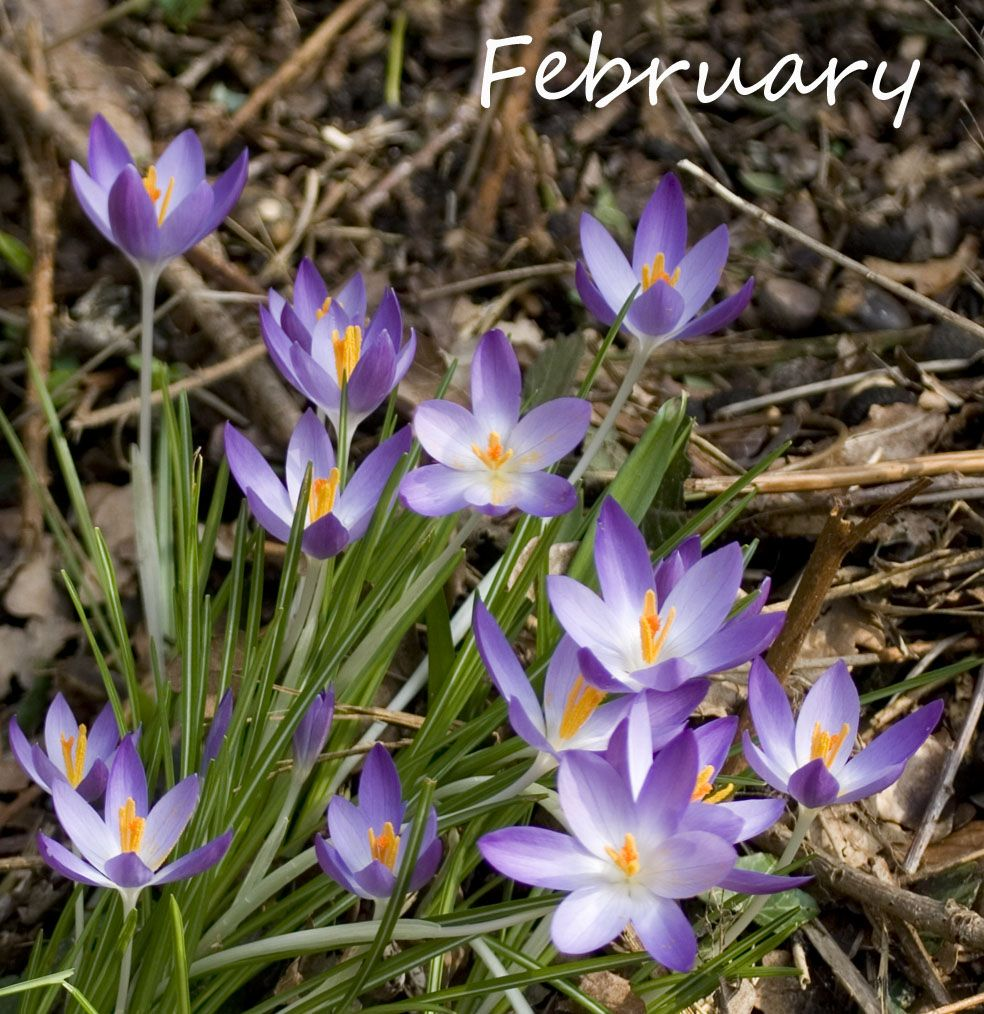 February flower of the month birth flowers pisces