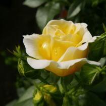 Easy Elegance Yellow Brick Road Rose Rose Yellow Roses Yellow Blossom