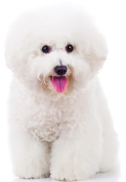 Best Dog Food For A Bichon Frise Bichon dog, Maltese