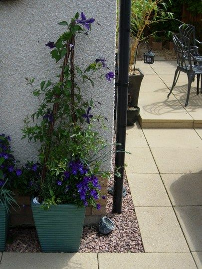 Growing Clematis In Pots Lessons Learned Grows On You Clematis Planter Trellis Succulents In Containers
