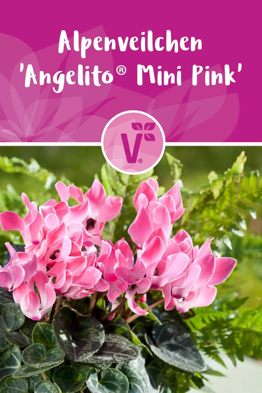 Alpenveilchen Angelito Mini Pink Alpenveilchen Bepflanzung Blumen Pflanzen