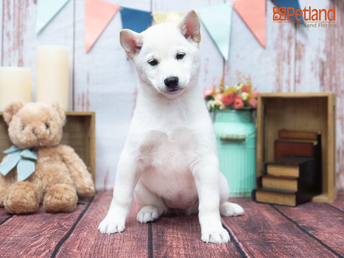 Bonus Ridiculously Cute Shiba Inu Puppy By Shibainu Shiro Suki Shiro Suki On Instagram In 2020 Shiba Inu Puppy Cute Dog Photos Shiba Inu