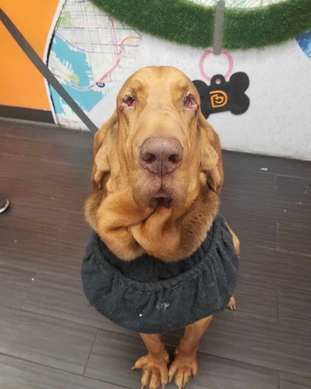 Adopt Benny On Dog Adoption Bloodhound Foster Dog