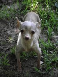 Adopt Angel On Adopted And Rescued Pets Success Chihuahua