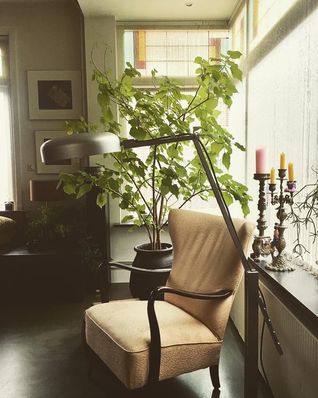 Sparmannia Africana Indoor Lime Zimmerlinde Plantas De Interior Interior Indoor Plants