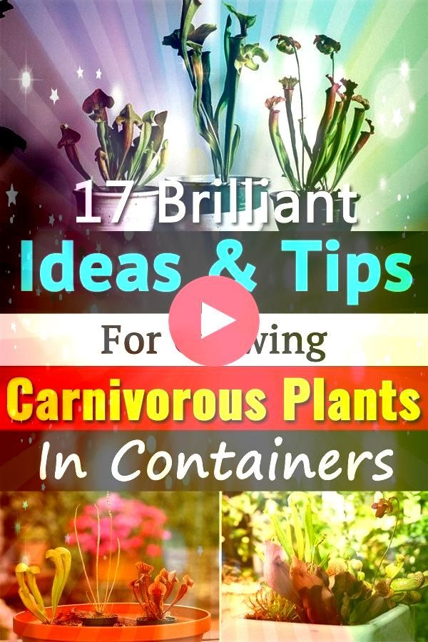 Carnivorous Plants in Containers is possible We added 17 ideasCreate a mini bog carnivorous plant terrarium or grow them indoorsGrowing Carnivorous Plants in Containers i...