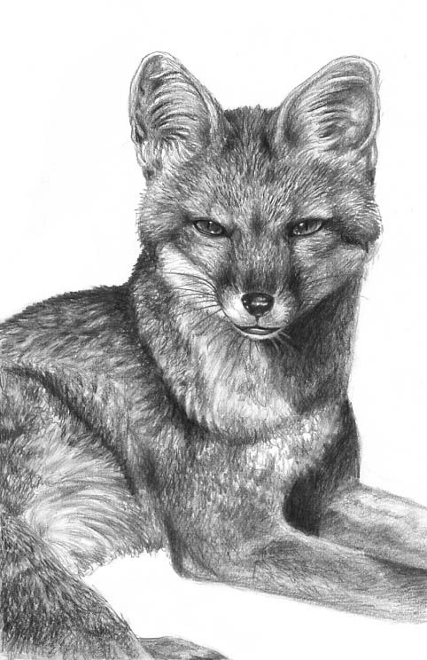 Grey Fox By Flowerlark Deviantart Com On Deviantart Grey Fox