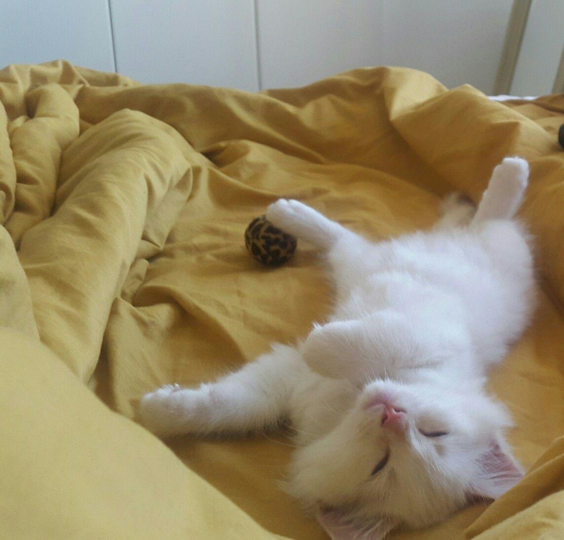 My 8 Week Old Ragdoll Maine Coone Kitten Named Winchester Sleeping On His Back Kitten Names Kitten Bean Bag Chair