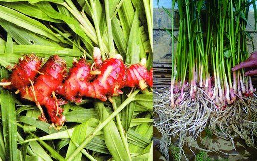 Jahe Merah Zingiber Officinale Atau Jahe Sunti Merupakan Jahe Dengan Warna Unik Beda Dengan Jahe Pada Umumnya Yakni Berw Tanaman Tanaman Obat Kebun Herbal