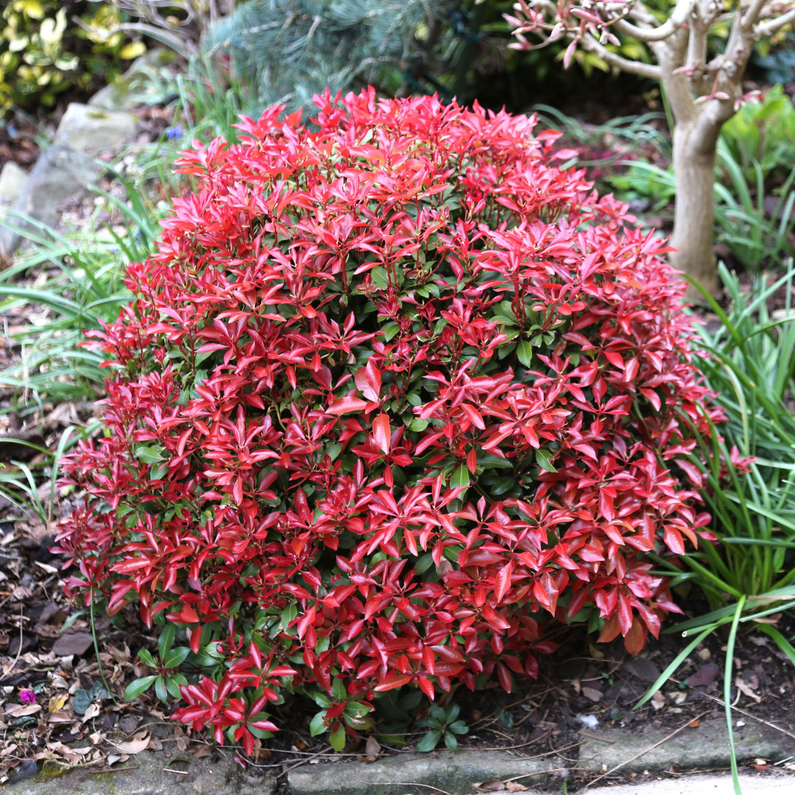 New leaves of Pieris japonica \'Mountain Fire\' in spring. | outdoor ...