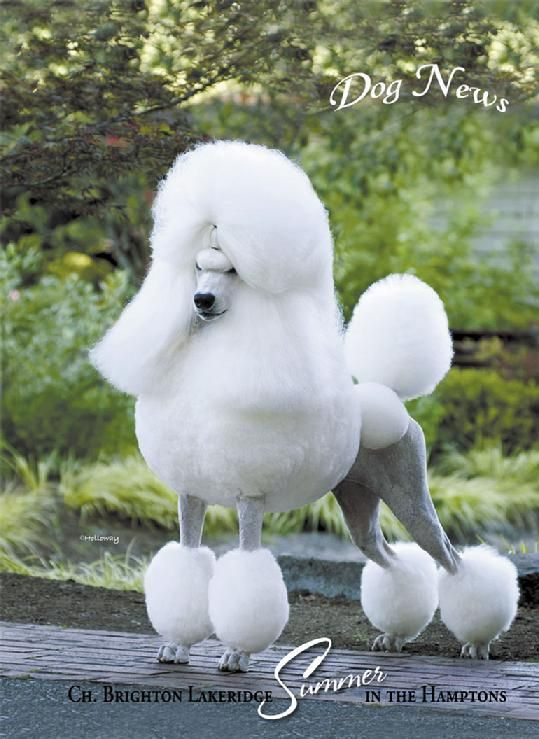 Lakeridgestandardpoodles Com How Can I Ever Be Complete Without A Poodle In My Life Simply I Cannot Poodle Standard Poodle Standard Poodle Haircuts